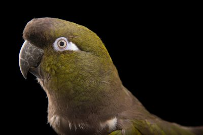 Picture of Ian, a male Patagonian burrowing parrot (Cyanoliseus patagonus patagonus) at Tracy Aviary.