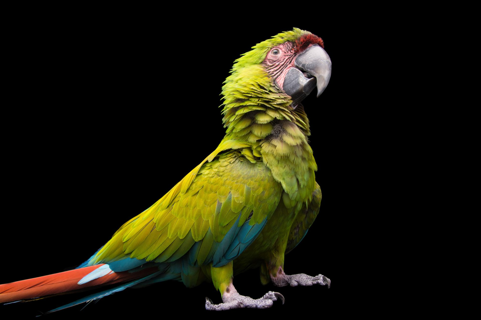 Picture of Dali, an endangered female great green macaw (Ara ambiguus) at Tracy Aviary.