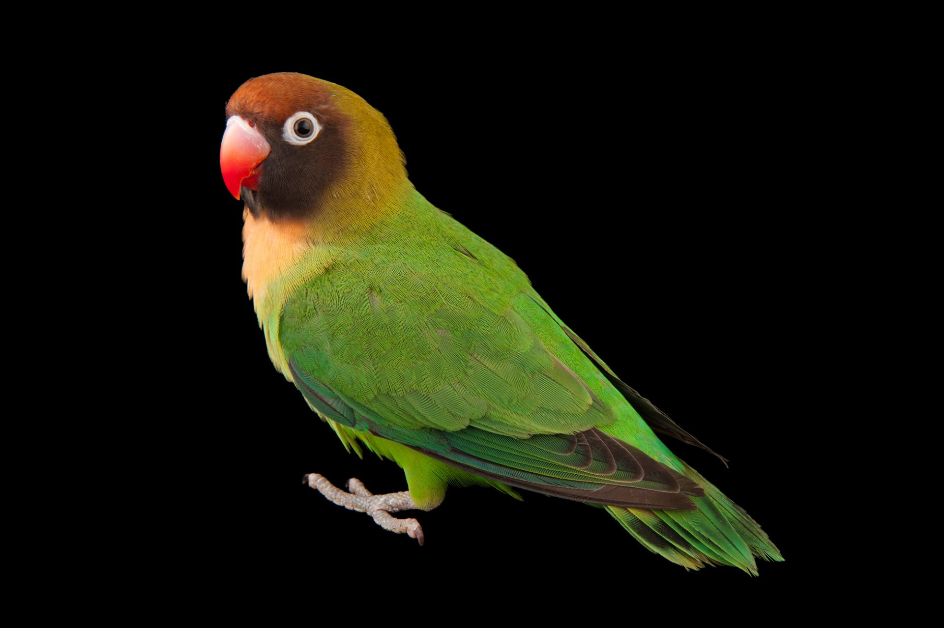 A vulnerable black-cheeked lovebird (Agapornis nigrigenis) at the Cleveland Metroparks Zoo.