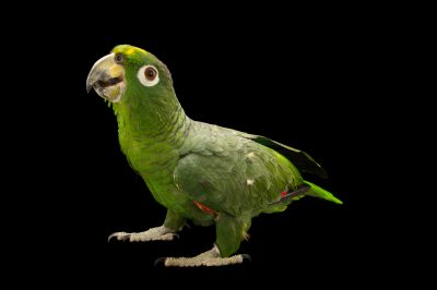 Picture of a mealy Amazon parrot (Amazona farinosa) at Parque Zoologico Nacional, the zoo in Santo Domingo, Dominican Republic.