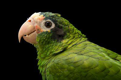 Picture of a vulnerable Hispaniolan Amazon parrot (Amazona ventralis) at Parque Zoologico Nacional, the zoo in Santo Domingo, Dominican Republic.