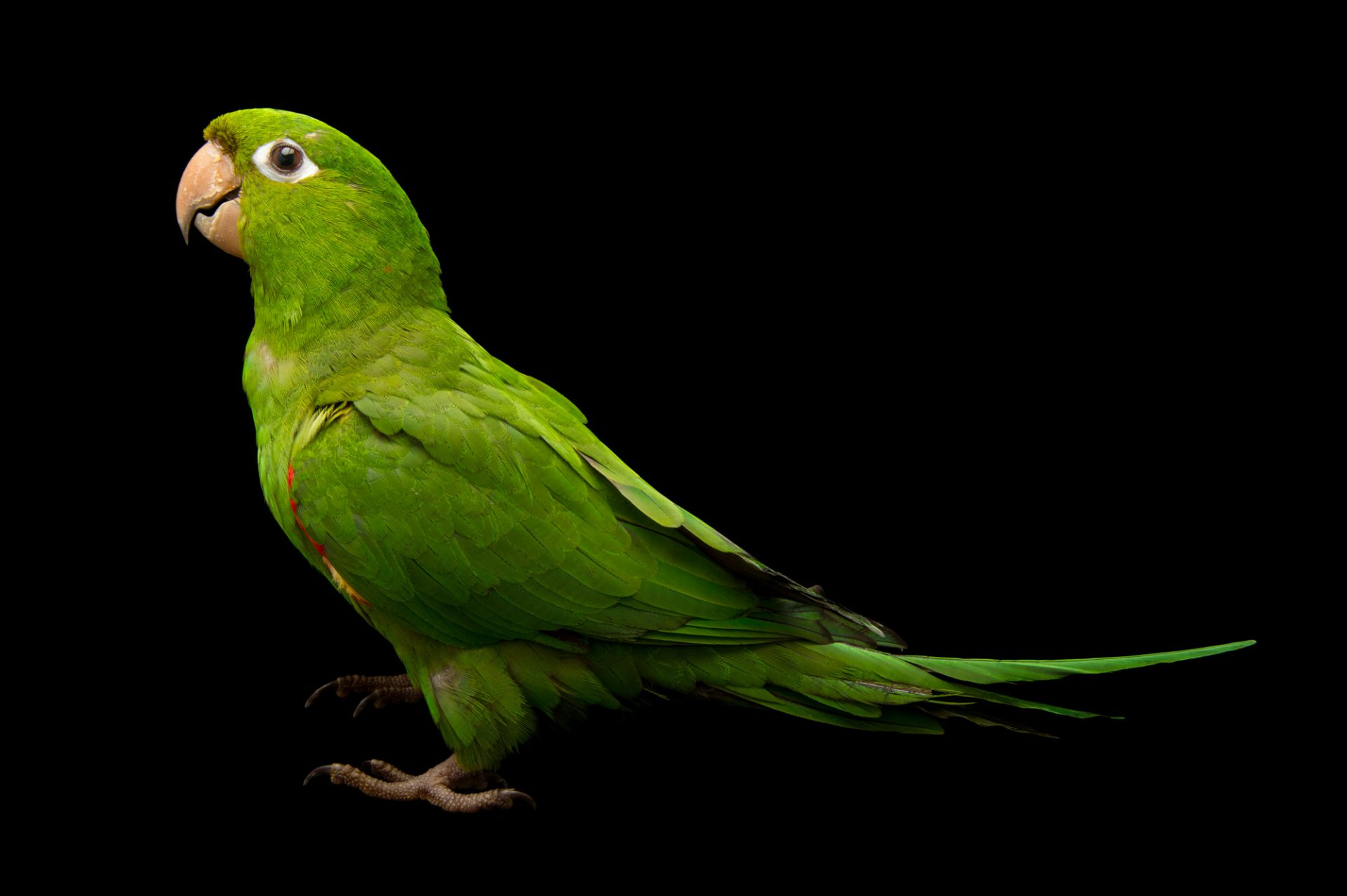 Picture of a Hispaniolan parakeet (Psittacara chloropterus) at Parque Zoologico Nacional, a zoo in Santo Domingo, Dominican Republic.