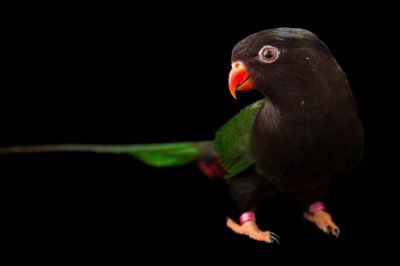 Picture of a Papuan lorikeet (Charmosyna papou goliathina) at Sylvan Heights Bird Park.