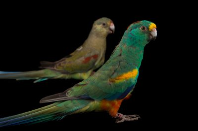 Picture of a female and male mulga parrot (Psephotellus varius) at Sylvan Heights Bird Park. This species was previously Psephotus varius.