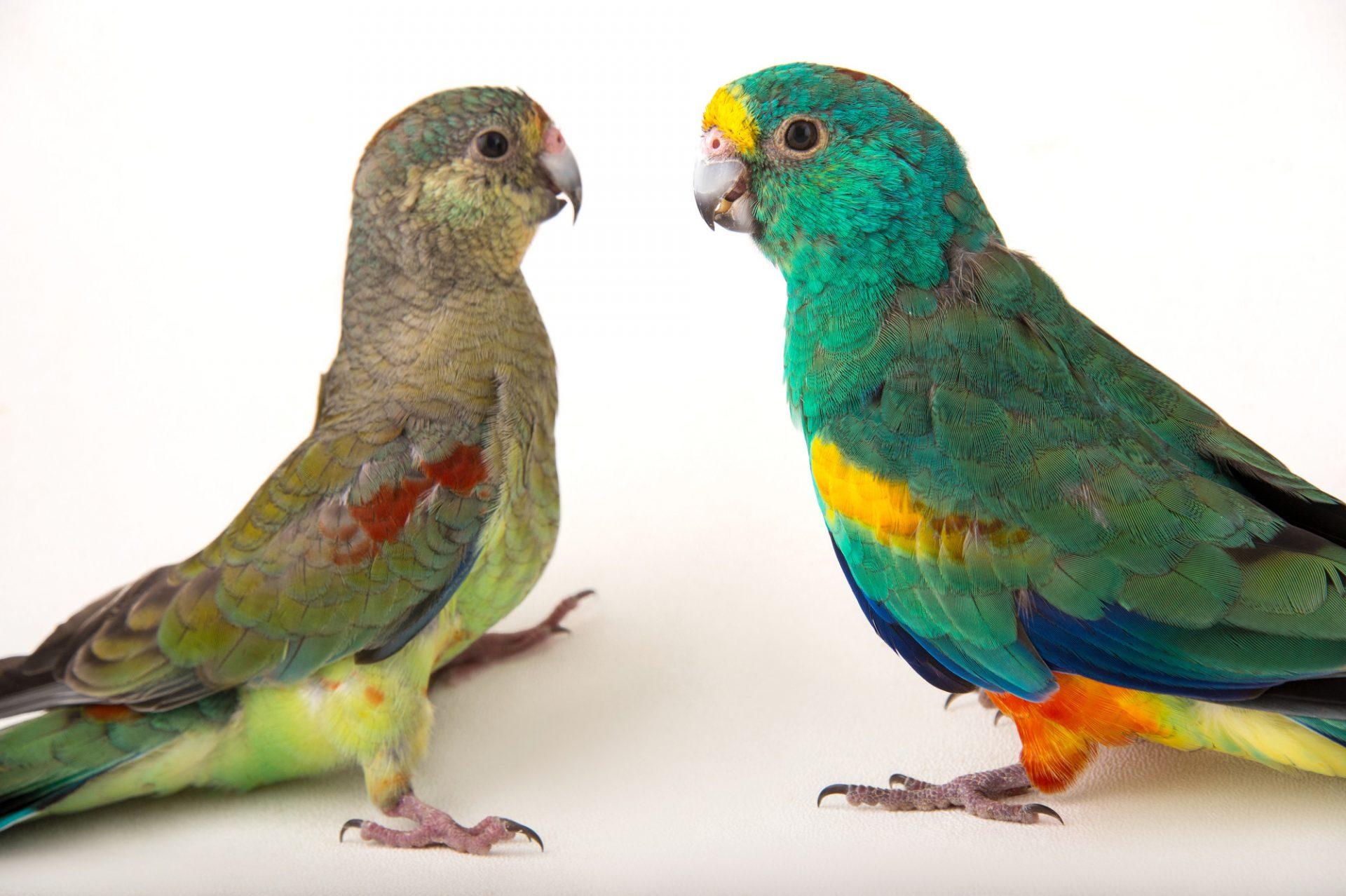 """Képtalálat a következőre: """"Mulga Parrot"""""""