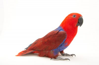 Picture of a female Solomon Islands eclectus parrot (Eclectus roratus solomonensis) at Sylvan Heights Bird Park.