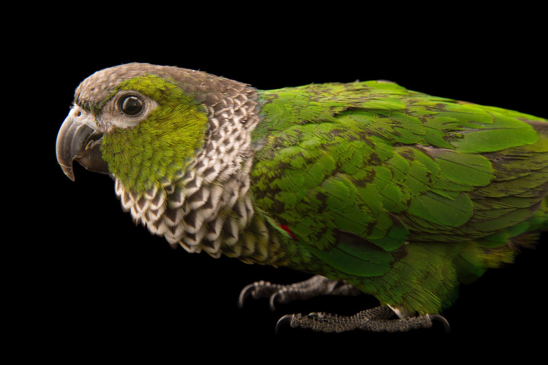 Picture of a black-capped parakeet (Pyrrhura rupicola) at Pet Paradise.