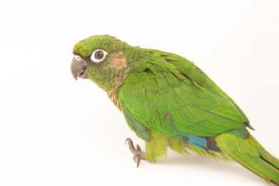 Picture of a maroon-bellied parakeet (Pyrrhura frontalis) at Pet Paradise.