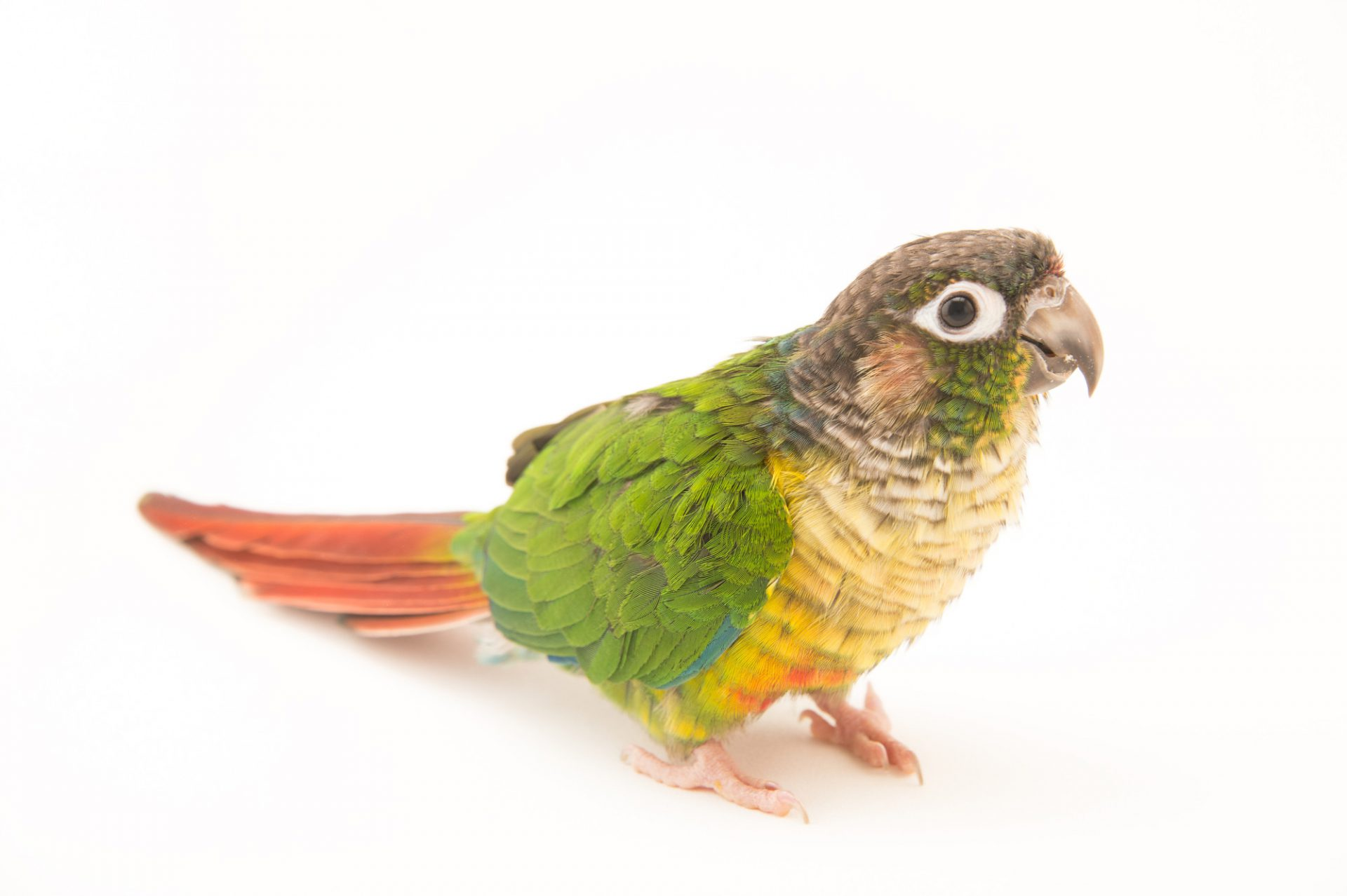 Picture of a green-cheeked parakeet (Pyrrhura molinae hypoxantha) at Pet Paradise.