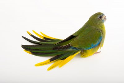 Picture of a federally endangered female turquoise parrot (Neophema pulchella) at Healesville Sanctuary.