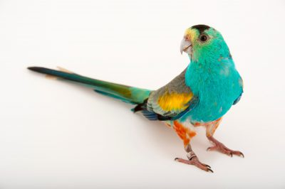 Picture of an endangered (IUCN) and federally endangered golden-shouldered parrot (Psephotellus chrysopterygius) at Healesville Sanctuary. This species was previously Psephotus chrysopterygius.