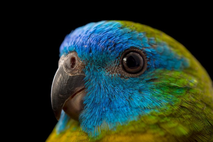 Picture of a male, federally endangered turquoise parrot (Neophema pulchella) at Healesville Sanctuary.