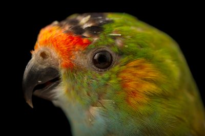 Picture of a purple-crowned lorikeet (Glossopsitta porphyrocephala) at Healesville Sanctuary.