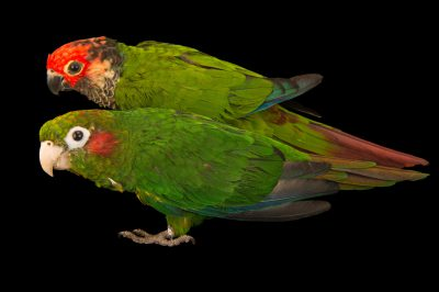 Picture of a Hoffmann's parakeet (Pyrrhura hoffmanni) with a red-crowned parakeet (Pyrrhura roseifrons roseifrons) at the Nispero Zoo.