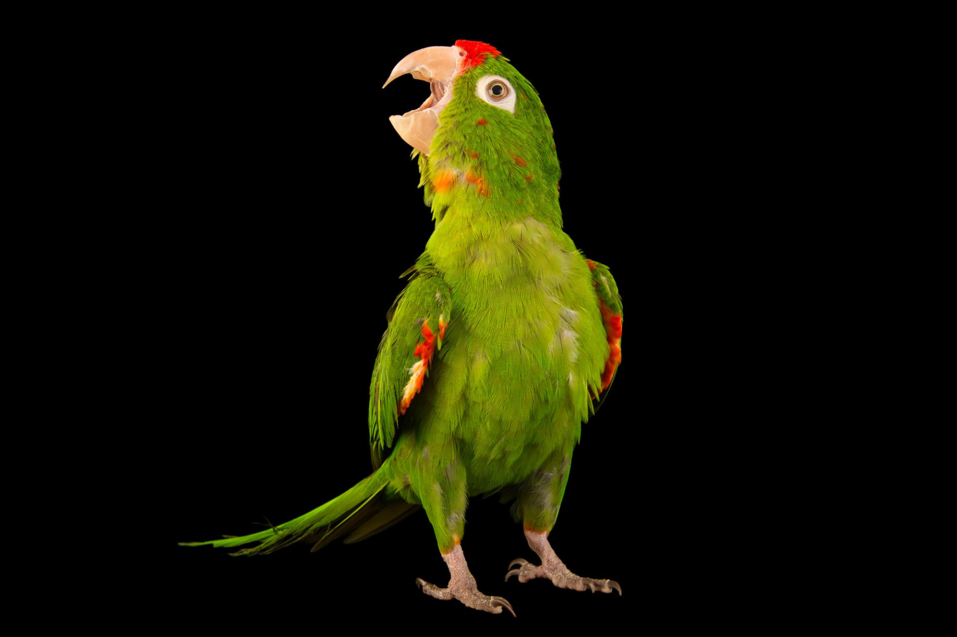 Picture of a crimson-fronted parakeet (Psittacara finschi) at the Nispero Zoo.
