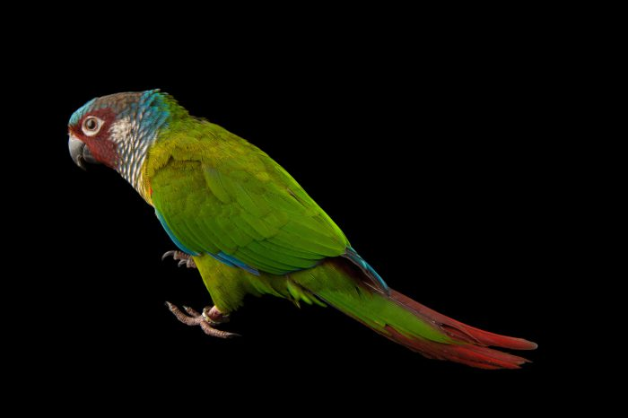 Picture of a painted parakeet (Pyrrhura caeruleiceps) at the National Aviary breeding center in Palmar, Colombia.