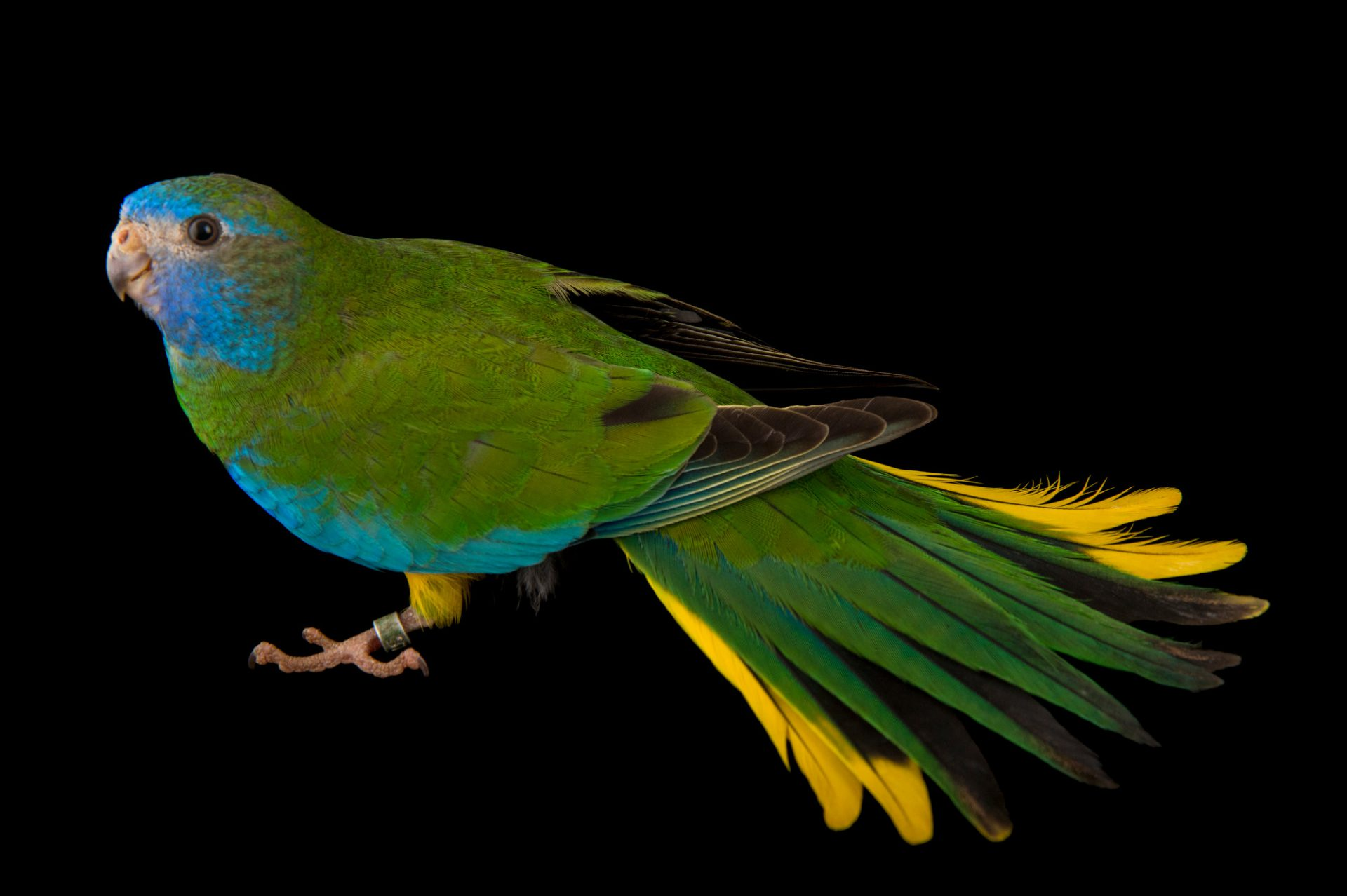 Picture of a federally endangered, female scarlet-chested parrot (Neophema splendida) at Healesville Sanctuary.