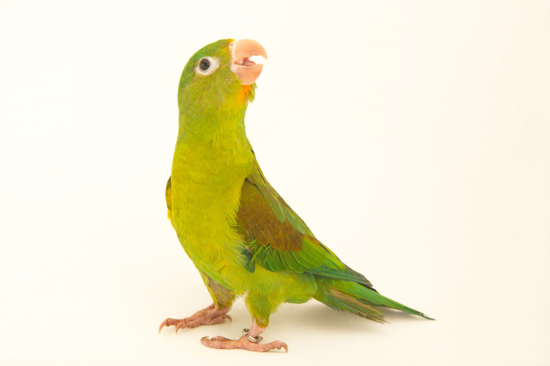Picture of an orange-chinned parakeet (Brotogeris jugularis) at the National Aviary breeding center.