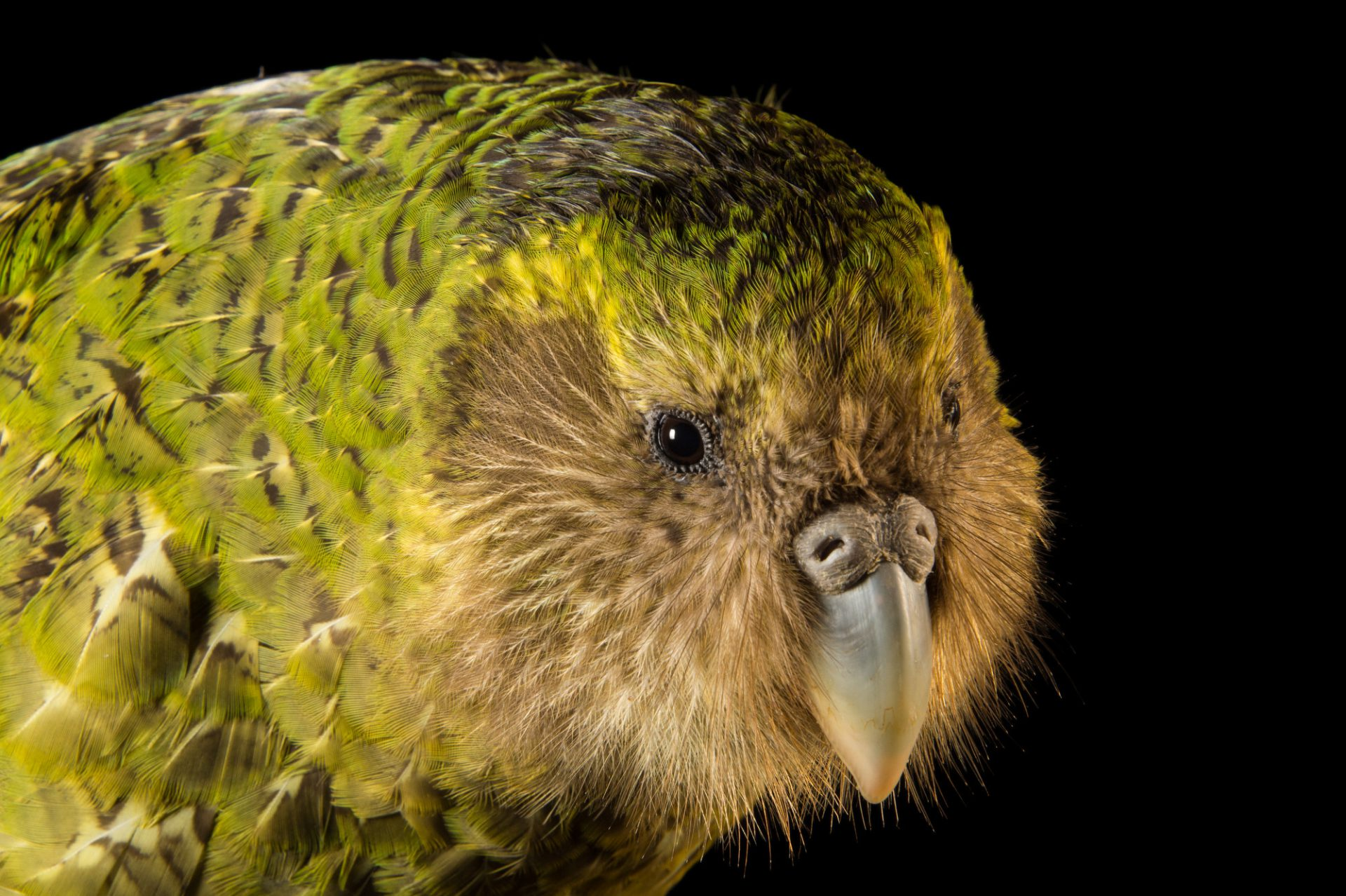 Picture of a critically endangered Kakapo (Strigops habroptilus) at Zealandia, in Wellington, New Zealand