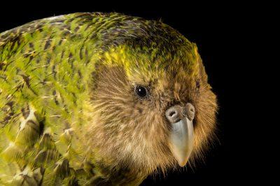 Picture of a critically endangered Kakapo (Strigops habroptilus) at Zealandia, in Wellington, New Zealand