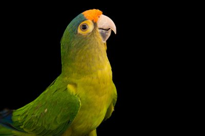 Picture of an orange-fronted parakeet (Eupsittula canicularis eburnirostrum) from a private collection.