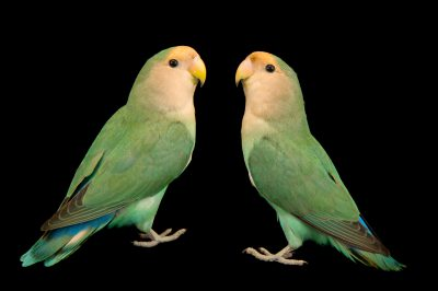 Picture of blue peach-faced lovebirds (Agapornis roseicollis) at Kamla Nehru Zoological Garden, Ahmedabad, India.