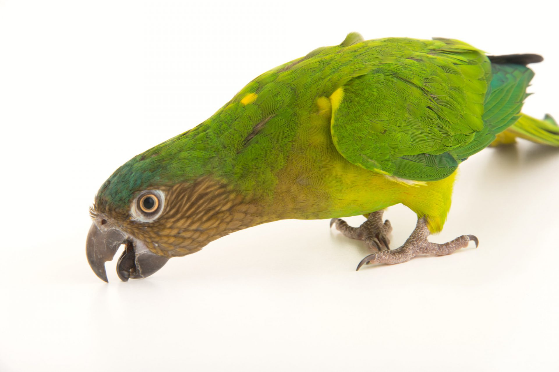 A brown-throated conure (Eupsittula pertinax aeruginosa) at the National Aviary of Colombia.