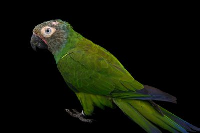 Picture of a dusky-headed conure (Aratinga weddellii) at the National Aviary of Colombia.
