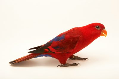 Picture of a red lory (Eos rubra) at the Suzhou Zoo.