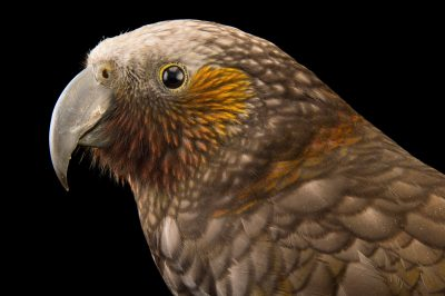 Picture of an endangered New Zealand kaka (Nestor meridionalis septentrionalis) at the Wellington Zoo.