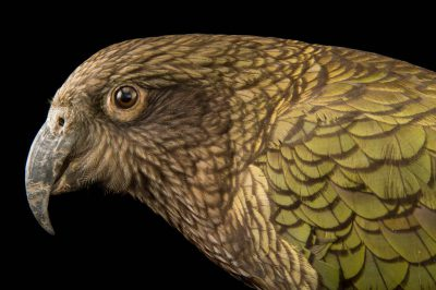 Picture of a vulnerable kea (Nestor notabilis) at the Wellington Zoo.