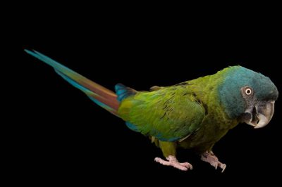 Picture of a vulnerable Blue-headed macaw (Primolius couloni) at Tracy Aviary.