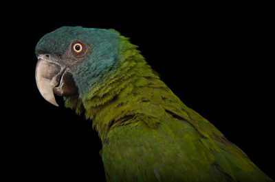 Photo: Blue-headed macaw (Ara couloni) at Tracy Aviary.
