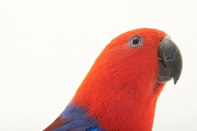 Picture of a female Solomon Islands eclectus parrot (Eclectus roratus solomonensis) at Sylvan Heights Waterfowl Park.