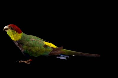 Photo: Red-capped Parrot (Purpureicephalus spurius) at the Budapest Zoo.