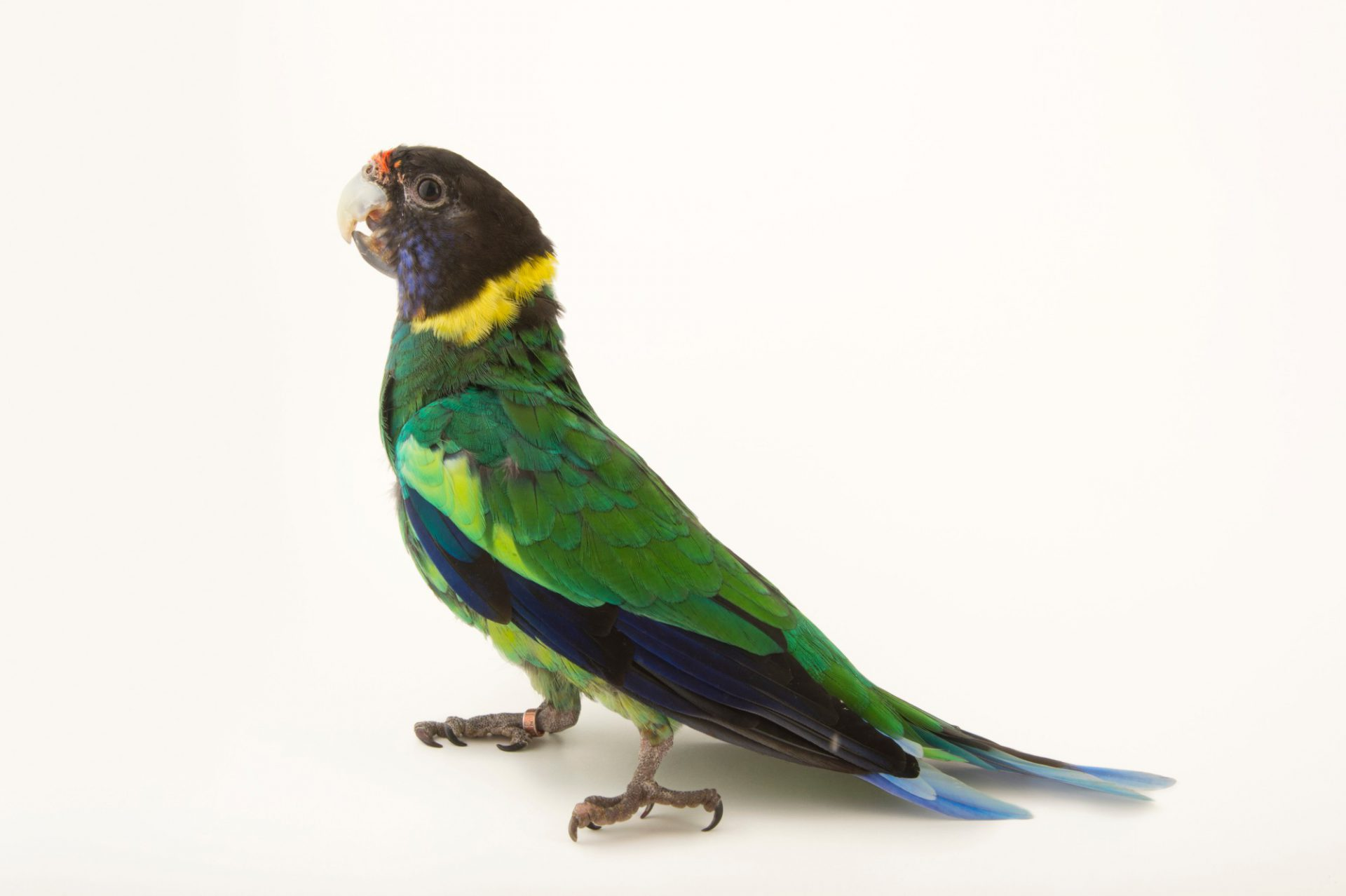Picture of an Australian ringneck (Barnardius zonarius) at the Budapest Zoo.