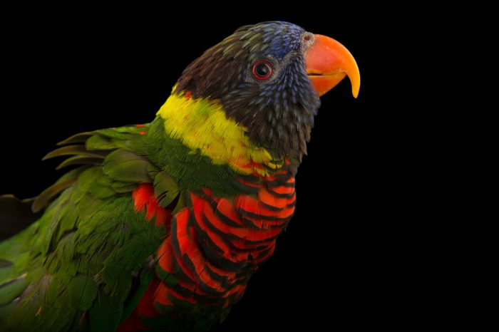 Picture of a rainbow lorikeet (Trichoglossus moluccanus) at the Columbus Zoo.