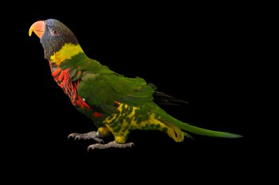 A rainbow lorikeet (Trichoglossus moluccanus) at the Columbus Zoo.