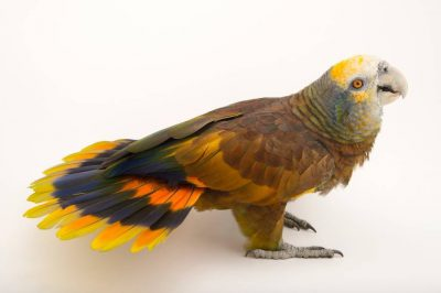 Picture of a vulnerable (IUCN) and federally endangered St. Vincent parrot (Amazona guildingii) at the Houston Zoo.