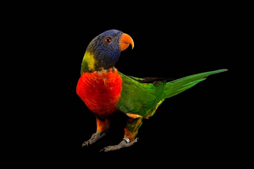 Photo: Blue-headed lorikeet (Trichoglossus haematodus caeruleiceps) at the Kansas City Zoo.