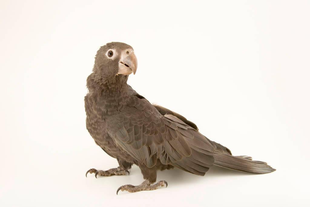 Photo: A greater vasa parrot (Coracopsis vasa) at the Plzen Zoo.