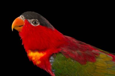 Photo: An endangered purple naped lory (Lorius domicella) at the Plzen Zoo.