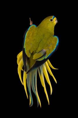 Photo: An elegant parrot (Neophema elegans) at the Plzen Zoo.