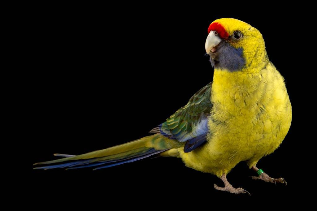 Photo: A green rosella (Platycercus caledonicus) at the Plzen Zoo.