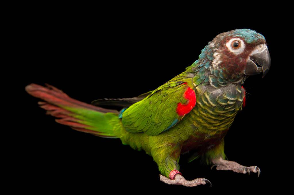 Photo: Venezuelan parakeet, also known as Emma's parakeet (Pyrrhura emma) at a private collection.