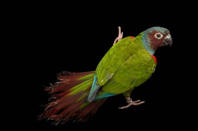 Photo: Goias parakeet (Pyrrhura pfrimeri) a species found in Brazil at a private collection.