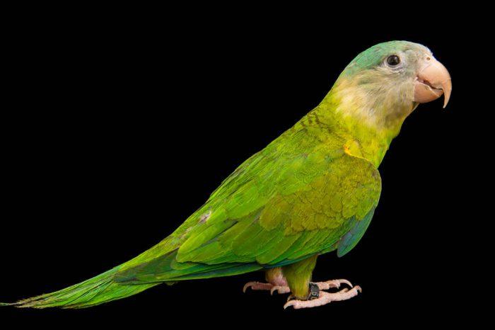 Photo: Grey-cheeked parakeet (Brotogeris pyrrhoptera) at a private collection.