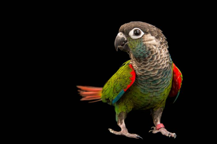 Photo: Pearly parakeet (Pyrrhura lepida coerulescens) at a private collection.