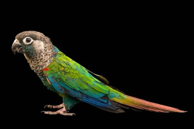 Photo: Pearly parakeet (Pyrrhura lepida lepida) at a private collection.