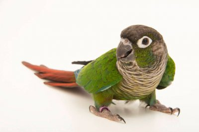 Picture of a green-cheeked conure (Pyrrhura molinae sordida) at a private collection.